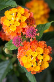 Lantana flowers in bloom Royalty Free Stock Photos