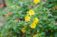 Lantana flowers Royalty Free Stock Images