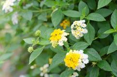 Lantana flowers Royalty Free Stock Photography