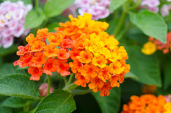 Lantana flowers Royalty Free Stock Photos