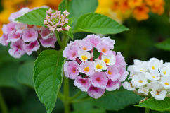 Lantana flowers Stock Photography