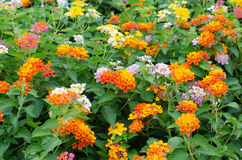 Lantana flowers Stock Photos