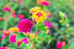 Lantana Flowers camara, background Royalty Free Stock Image