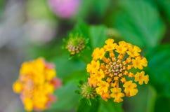 Lantana Flowers camara Stock Image
