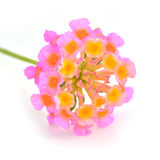 Lantana Flowers Stock Image