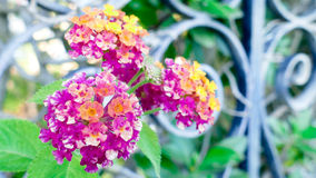 Lantana flowers Royalty Free Stock Photo