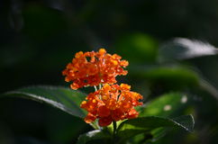 Lantana flowers. This is an image of a pair of orange colored Lantana flowers in full bloom Stock Photography