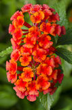 Lantana flowers. Wet lantana flowers in the garden Royalty Free Stock Photography