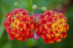 Lantana flowers. Wet lantana flowers in the garden Royalty Free Stock Photos