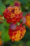 Lantana flowers Stock Images