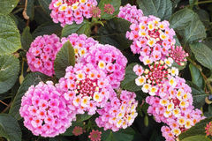 Lantana, foliage and flowers Royalty Free Stock Images