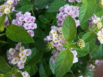 Lantana. In the garden Royalty Free Stock Image