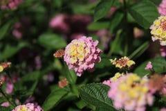 Lantana. Garden flower in august.  flower  garden  pink Stock Photos