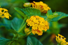 Lantana, Golden Spreader. Flower of the Lantana `Camara Flava`. This pretty species is native to Mexico, Central America, the West Indies and northern South royalty free stock photos