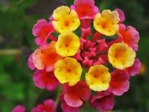 Lantana Hybrid. Close up photo of colorful flower with small,yellow,orange and pink thrumpets|lantana hybrid stock image