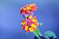 Lantana indio del oeste con la flor Imagen de archivo libre de regalías