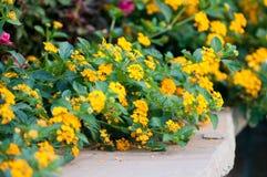 Lantana jaune sur le bord en pierre Image libre de droits