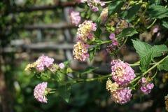 Lantana jest kwiatonośnym rośliną verbenum rodzina zdjęcia royalty free