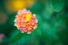 Lantana kwiat Obrazy Stock