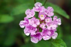 Lantana kwiat Zdjęcie Stock