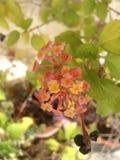 Lantana kwiat w kolorze żółtym, brzoskwini i menchiach, Zdjęcia Royalty Free