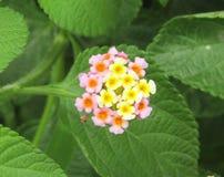 Lantana kwiaty Zdjęcie Stock