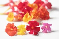 Lantana little flower over white background Stock Photo