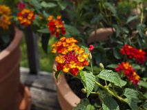 Lantana mis en pot Photo libre de droits