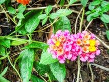 lantana mix colorful beauty orange yellow pink flowers bloom Stock Image