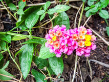 Lantana mix colorful beauty orange yellow pink flowers bloom Stock Photography