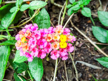 Lantana mix colorful beauty orange yellow pink flowers bloom Royalty Free Stock Photos