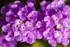 Lantana montevidensis Royalty Free Stock Photography