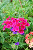 Lantana Royalty Free Stock Image