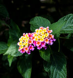 Lantana o sabio salvaje o paño de la flor del oro o del camara del Lantana Imagenes de archivo