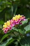 Lantana o sabio salvaje o paño de la flor del oro o del camara del Lantana Foto de archivo