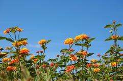 Lantana orange Photos libres de droits