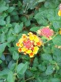 Lantana orange vibrant Photographie stock