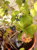 Lantana, planta com folhas e flores Imagem de Stock