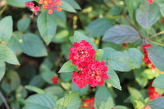Lantana. Red Lantana flowers Royalty Free Stock Photos