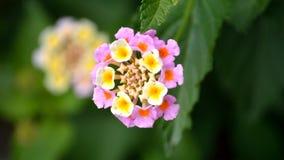 Lantana, rosa e giallo fotografia stock libera da diritti