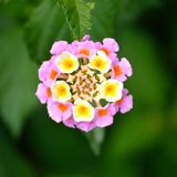 Lantana, rosa e giallo fotografie stock