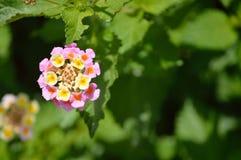 Lantana, rosa färger och guling Royaltyfri Fotografi