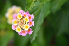 Lantana, rosa färger och guling Arkivbild