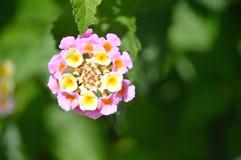 Lantana, rosa färger och guling fotografering för bildbyråer