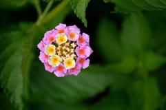 Lantana, rosa färger och guling royaltyfria bilder