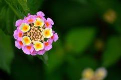 Lantana, roze en geel Stock Afbeelding