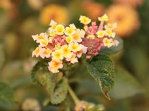 Lantana tiny flowers from Himalayas. A close shot of tiny flowers like Lantana from the Himalayas mountain and in the other areas of Punjab Royalty Free Stock Photos