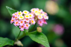 Lantana tropical flowers. In the garden.(Close up Stock Image