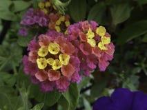 Lantana Verbena kwiat w menchiach i kolorze żółtym Fotografia Stock