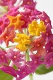 Lantana weinig bloem over witte achtergrond Royalty-vrije Stock Foto's